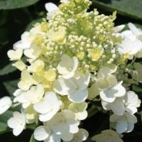 Гортензия метельчатая Бейби Лэйс (Hydrangea paniculata Baby Lace)