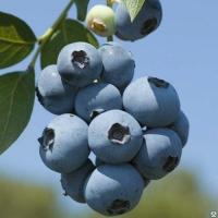 Бригитта Блю (Brigitta Blue)