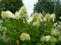 Гортензия метельчатая Кэндллайт (Hydrangea paniculata Candlelight)