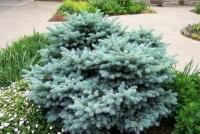 Ель колючая Глаука Глобоза (Picea pungens Glauca Globosa)