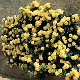 Роза Голден Парфюм (Golden Parfum )