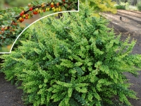 Барбарис тунберга Грин Орнамент (Berberis thunbergii Green Ornament)