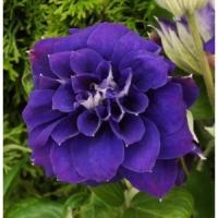Клематис крупноцветковый Кири Те Канава (Kiri Te Kanawa)