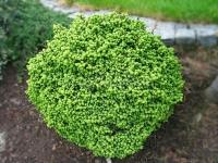 Ель обыкновенная Литтл Джем (Picea abies Little Gem)