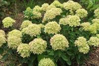 Гортензия метельчатая Литл Лайм (Hydrangea paniculata Little lime)