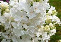 Сирень обыкновенная Мадам Лемуан (Syringa vulgaris Madame Lemoine)