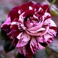 Роза Нью Имейджн (New Imagine)