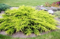 Можжевельник средний Пфитцериана Ауреа (Juniperus  pfitzeriana Pfitzeriana Aurea)