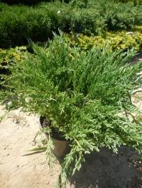 Можжевельник горизонтальный Прострата (Juniperus horizontalis Prostrata)