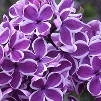 Сирень обыкновенная Сенсация (Syringa vulgaris Sensation)