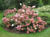 Гортензия метельчатая Ванилла Фрейз(Hydrangea paniculata Vanille Fraise)