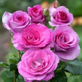 Роза Клайминг Виолет Парфюм (Violette Parfumee)