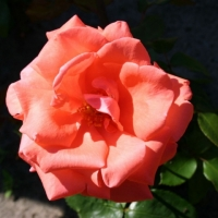 Роза Хармони (Pink Harmonie)