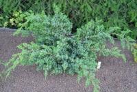 Можжевельник Чешуйчатый Блю Спайдер (Juniperus squamata Blue Spider)
