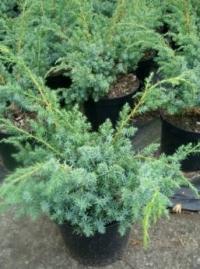 Можжевельник китайский Блу Альпс( Juniperus chinensis) Blue Alps