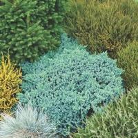 Можжевельник чешуйчатый Блю Стар (Juniperus squamata Blue Star)