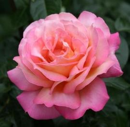 Роза Чикаго Пис (Chicago Peace)