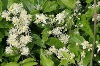 Клематис виноградолистный (Clematis vitalba)