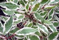 Дерен белый Элегантиссима (Cornus alba Argenteomarginata / Cornus alba Elegantissima)