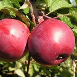 Яблоня Дарунок