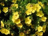 Лапчатка кустарниковая Голдстар (Potentilla fruticosa Goldstar)