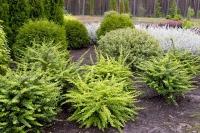Барбарис тунберга Грин Карпет (Berberis thunbergii Green Carpet)