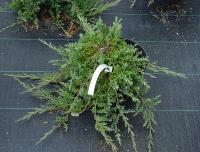 Можжевельник горизонтальный Джейд Ривер (Juniperus horizontalis Jade River)