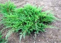 Можжевельник казацкий ( Juniperus sabina)