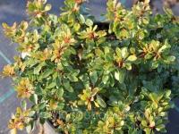 Барбарис тунберга Кобольд (Berberis thunbergii Kobold)
