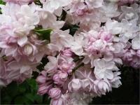 Сирень обыкновенная Красавица Москвы(Syringa vulgaris Krasavitsa Moskvy)
