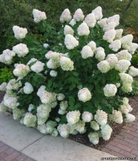 Гортензия метельчатая Мэджикал Кэндл (Hydrangea paniculata Magical Candle)