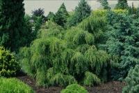 Можжевельник виргинский Пендула (Junīperus virginiāna Pendula)