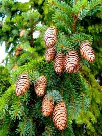 Ель европейская (обыкновенная) (Picea abies)