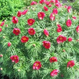 Пион уклоняющийся (P. anomala L.)
