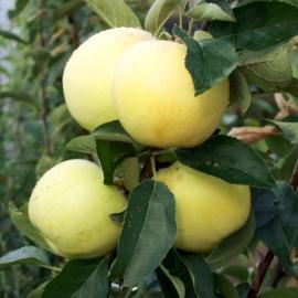 Яблоня Сахарный Аркад