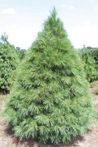 Сосна Горная Веймутова (Pinus Strobus)