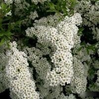Спирея острозазубренная аргута (Spiraea x arguta Zab)