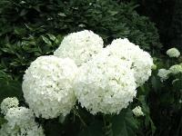 Гортензия древовидная Стронг Аннабель или Инкредибол (Hydrangea arborescens Strong Annabelle or Incrediball)