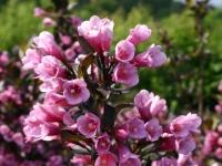Вейгела цветущая Пурпуреа (Weigela florida Purpurea)