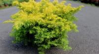 Можжевельник прибрежный Ауреа (Juniperus conferta Aurea)