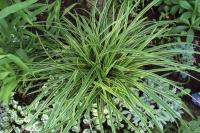 Осока Морроу (Carex morrowii Variegata)