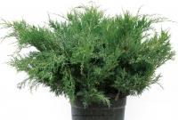 Можжевельник средний Пфитцериана Глаука (Juniperus x-media Pfitzeriana Glauca)