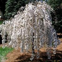 Яблоня декоративная Пендула (Malus baccata Pendula)