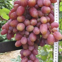 Виноград Сеня