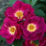Розы почво-покровные и миниатюрные