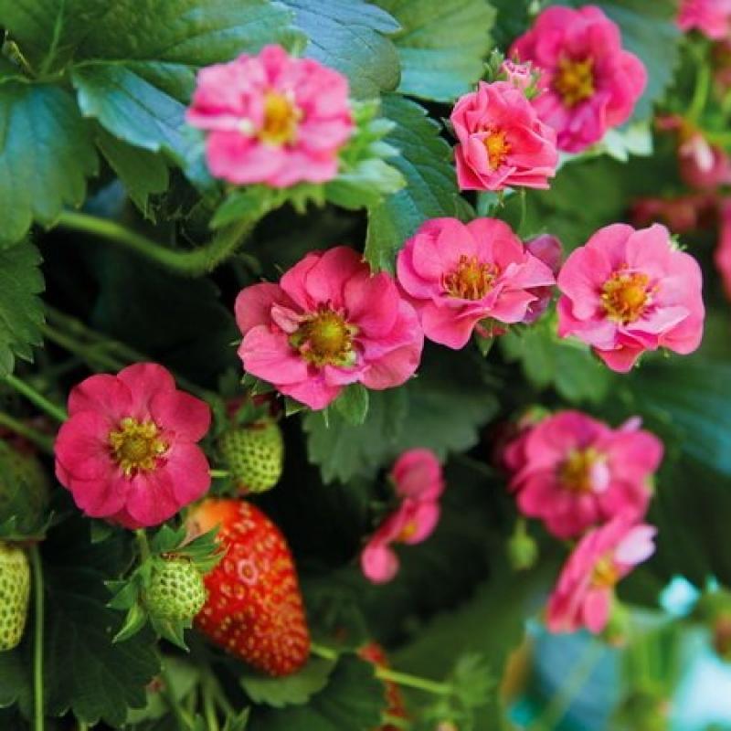 Земляника ампельная садовая Саммер Роуз(Summer Breeze Rose)