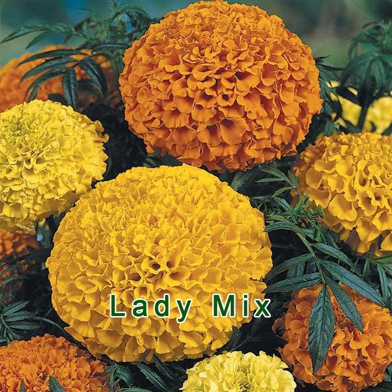 Бархатцы крупноцветковые