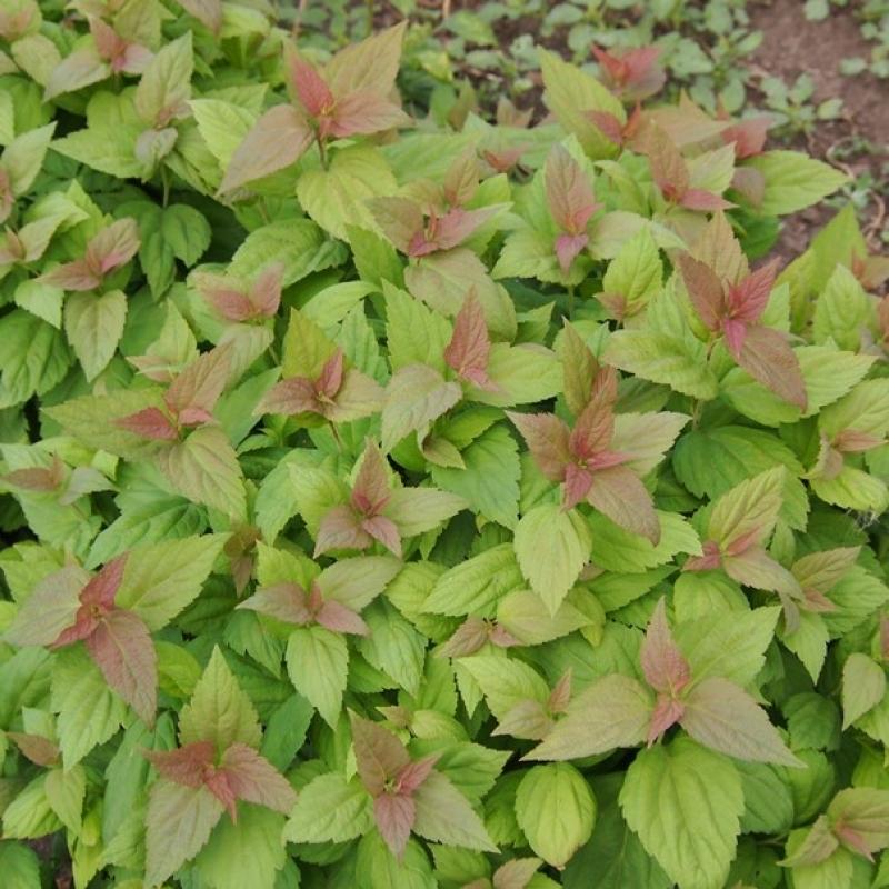Спирея японская (Spiraea japonica )
