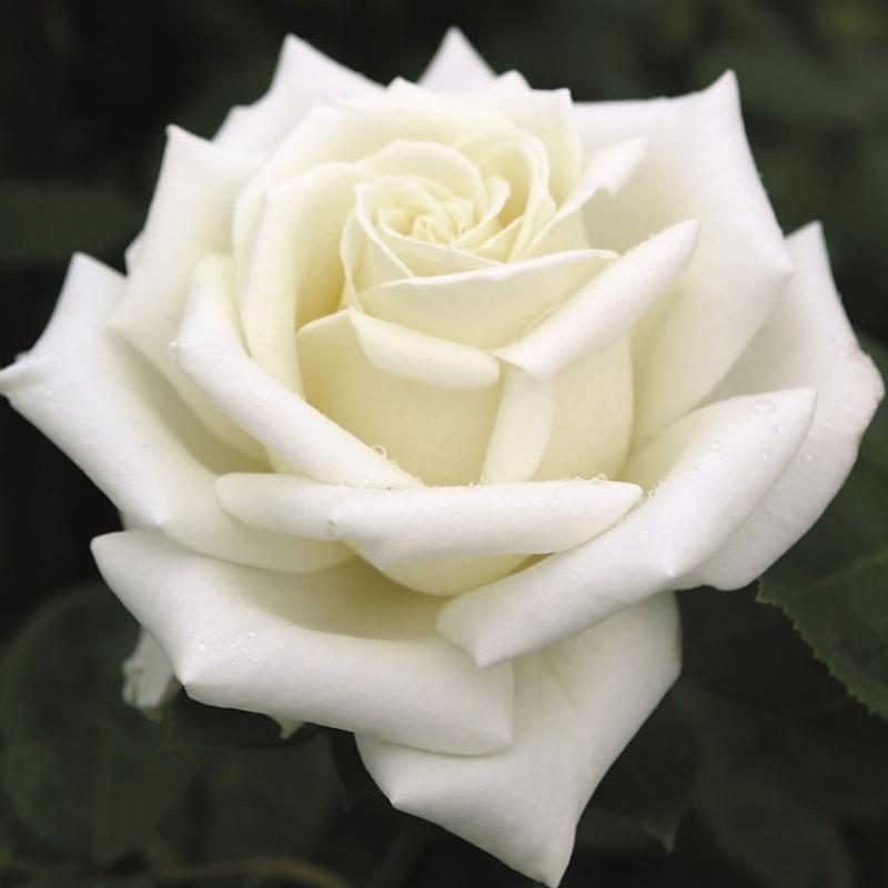 Роза Поларштерн (Rose Polarstern)