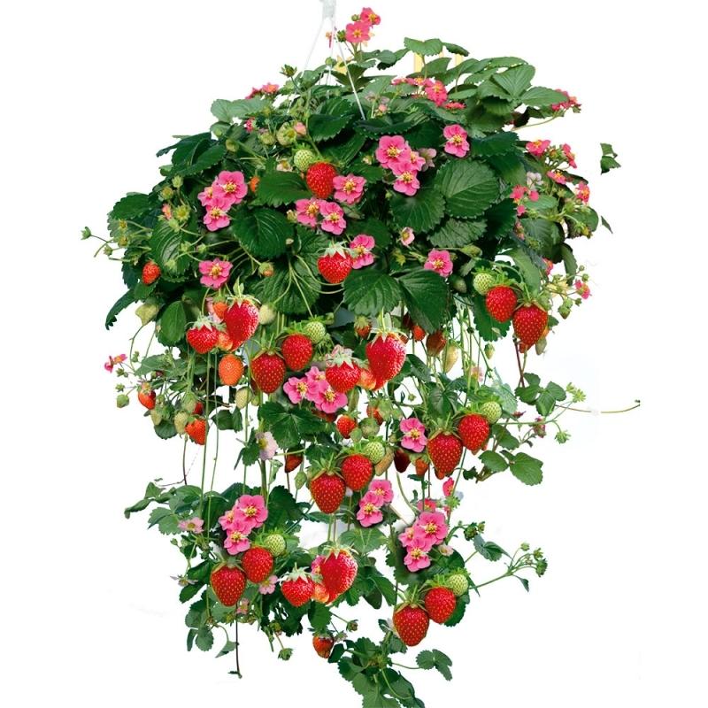 Земляника ампельная  садовая Тристан Черри (Tristan cherry)